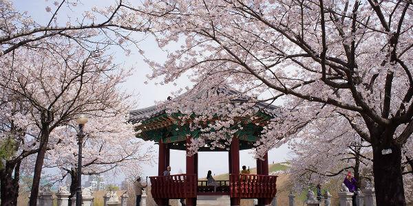 Hàn Quốc Mùa Hoa Anh Đào -  SEOUL - EVERLAND - YEOUIDO - NAMI